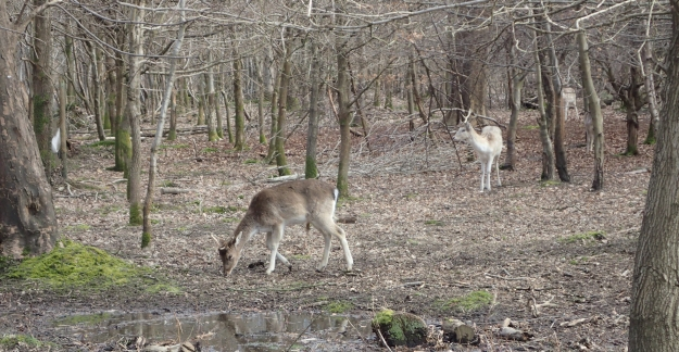 Unsurprisingly, many deer were encountered in Knole Park