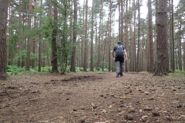 Pine woodlands between West Byfleet and Sunningdale. June 2016