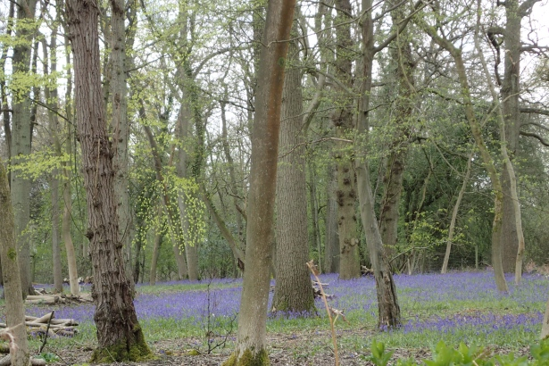The seasons turn- Bluebell woods on the North Downs Way