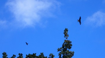 Red Kite (Mivus milvus) wheeled in the air above my head every day, especially through the Chilterns