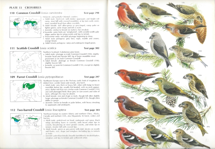 Pages from the Helm Finches & Sparrows identification guide. A look at this plate and it takes me right back to the hours I spent in Bedgebury Pinetum looking for the lone Scottish Crossbill in a roaming flock of Common Crossbills