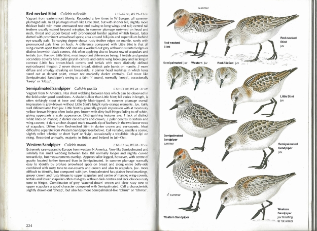 In his foreword to Birds of Europe, Lars Jonsson records that when he was working on illustrations for a birds of sea and coast volume, there were no pictures of juvenile waders in the available field guides. His subsequent volumes went on to address that shortfall