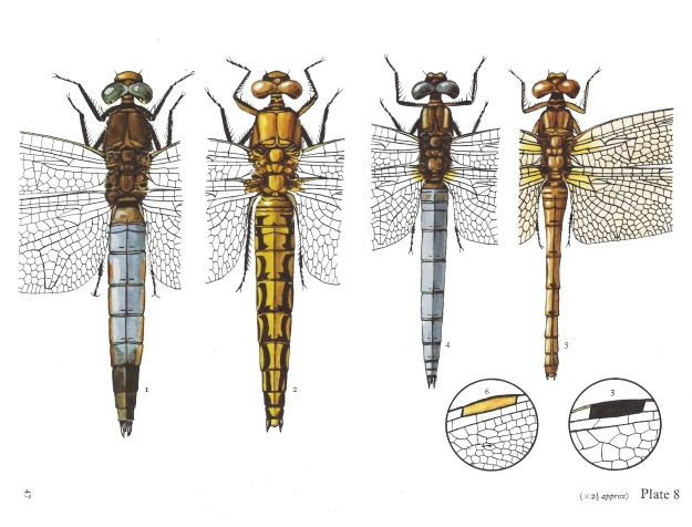 The colour plates by C.O. Hammond are expertly and precisely drawn. He made a lifetime study of British dragonflies