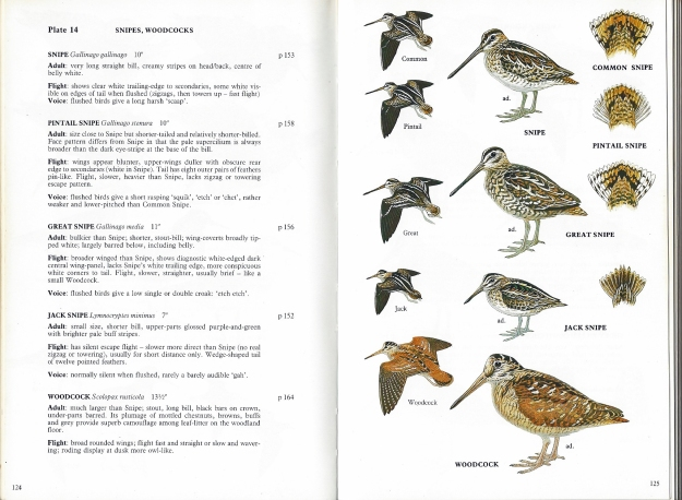 Detail from A Field Guide to the Waders of Britain and Europe. Phillip Burton is a skilled illustrator