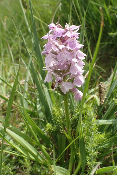 Southern marsh-orchid (Dactylorhiza praetermissa), seen by Three Points of the Compass on the London Countryway