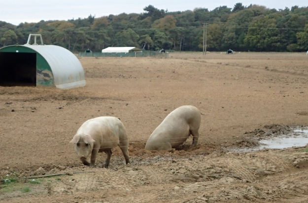 Pig Farm in Suffolk