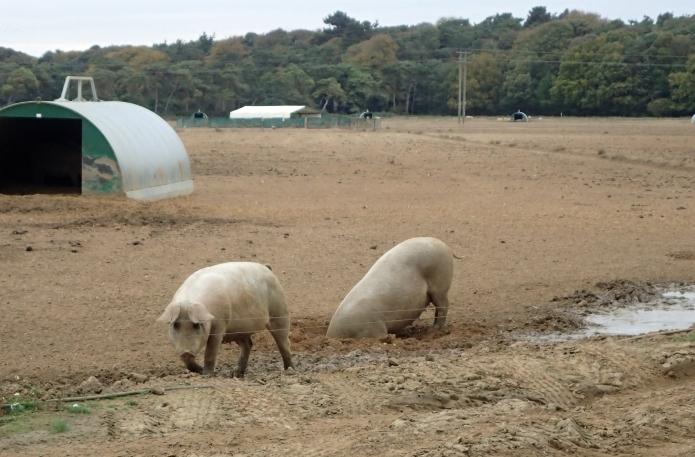 Pig Farm in Suffolk