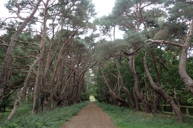 Avenues of Pine welcomed me into the Brecklands