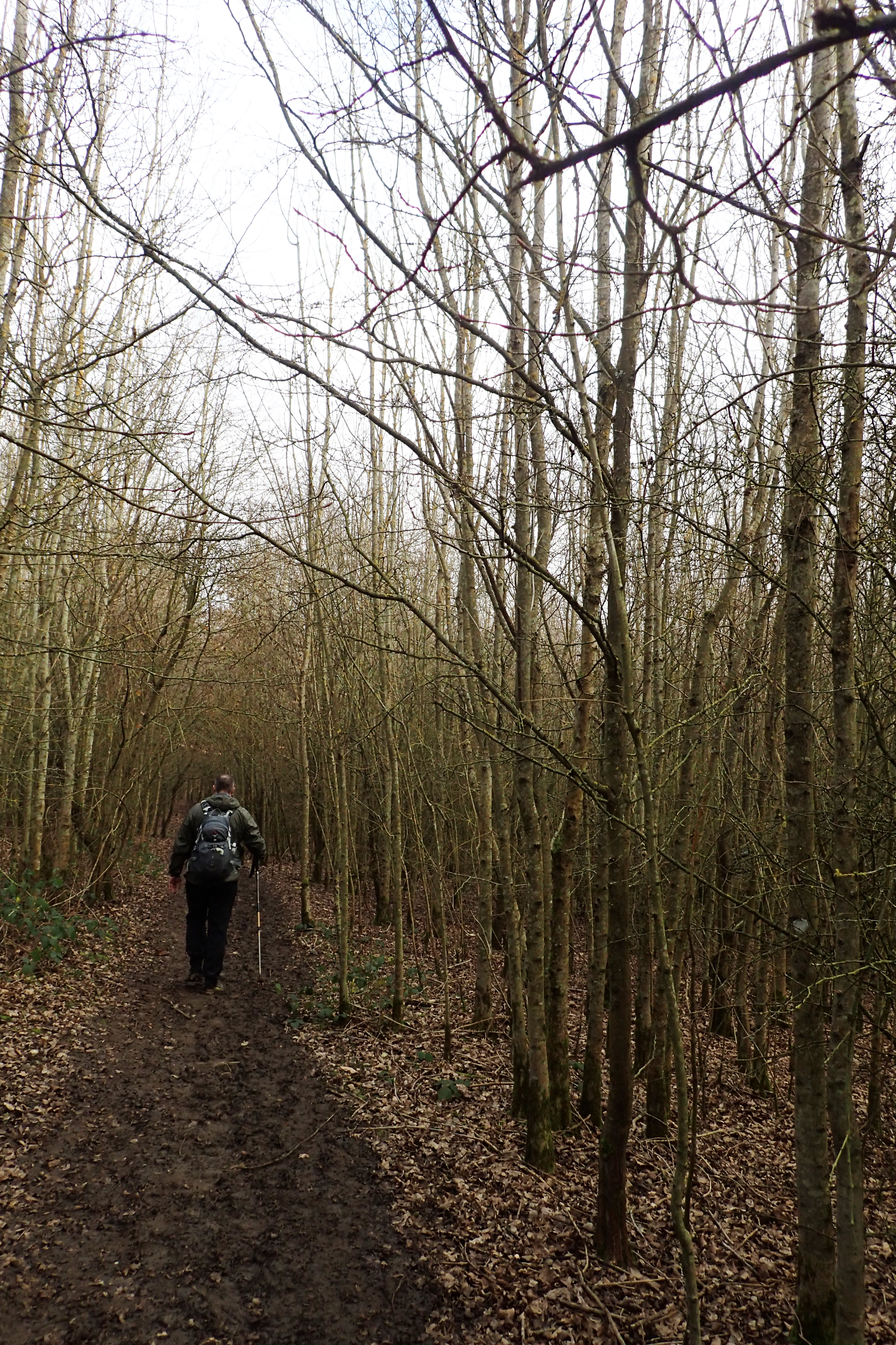 An avenue through a young coppice woodland