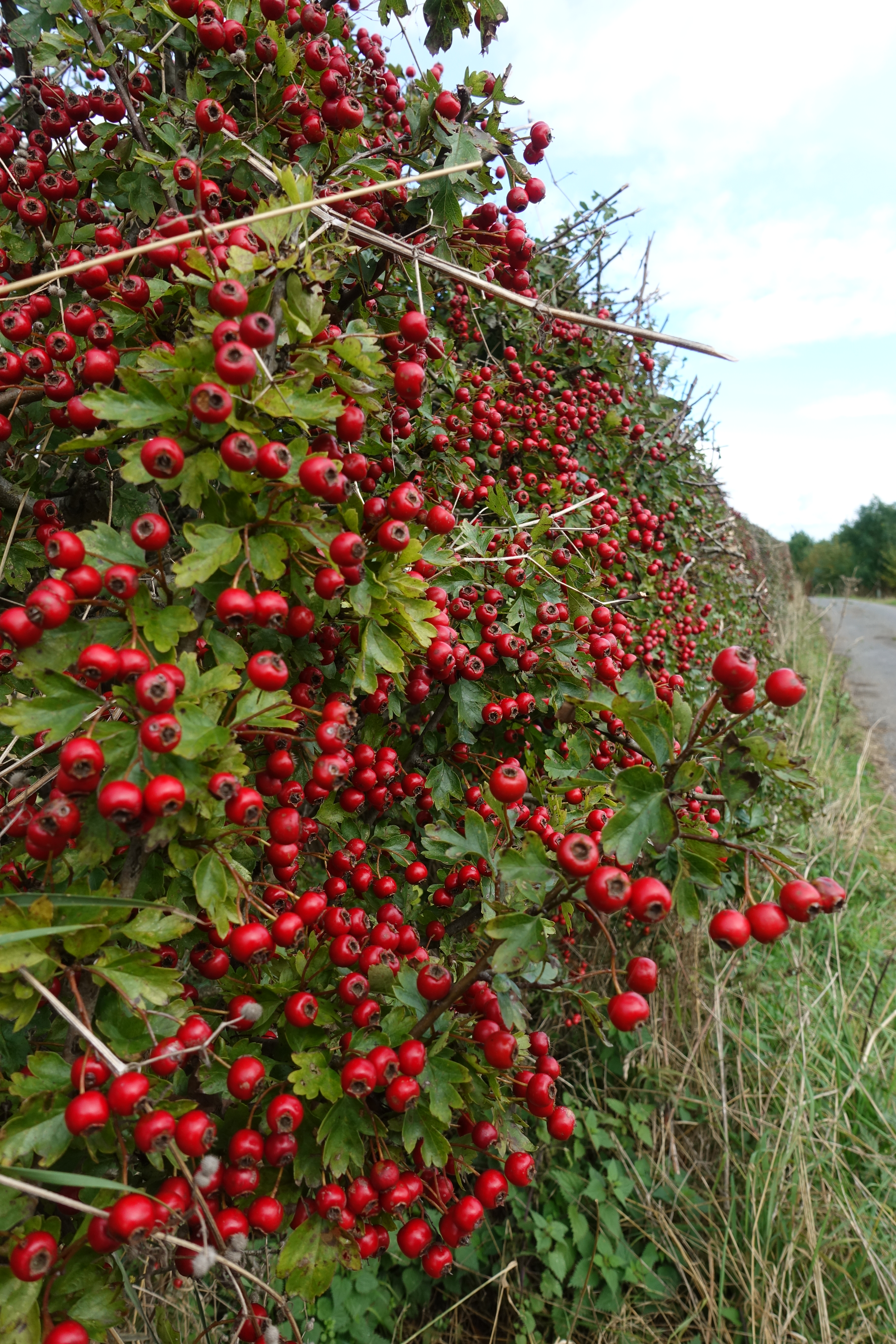 Berries in profusion on this autumn walk