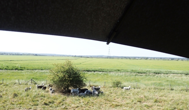 Sheep look for shade on a hot day. I carried mine with me