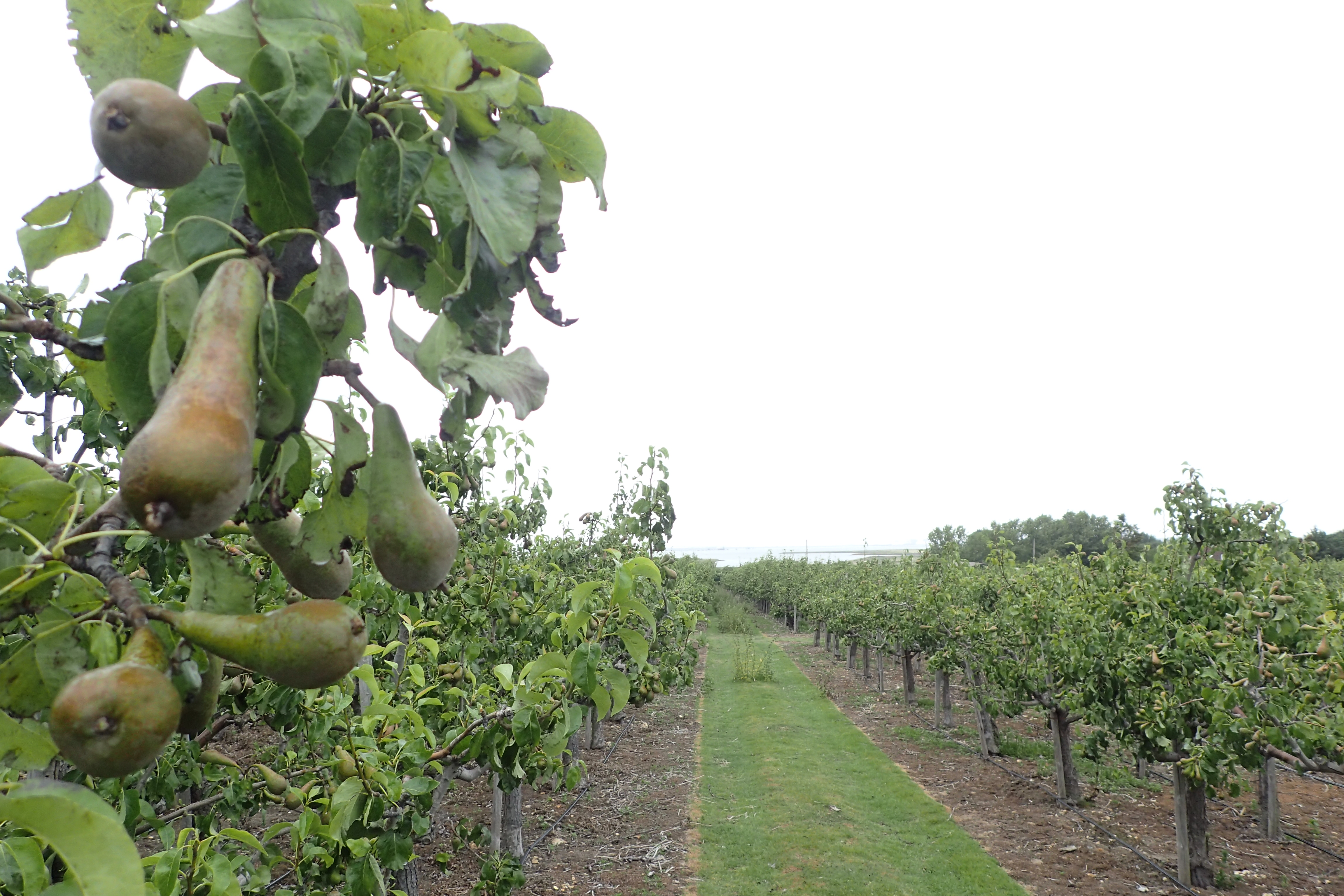 Pear orchards on the slopes leading down to the waters edge at Rainham