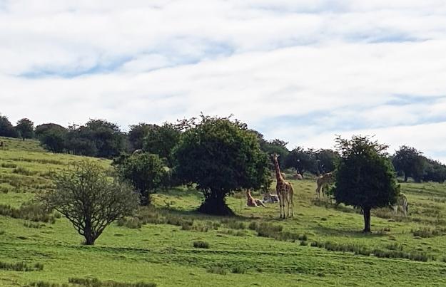 How many UK walks offer views of giraffes striding the hillsides?