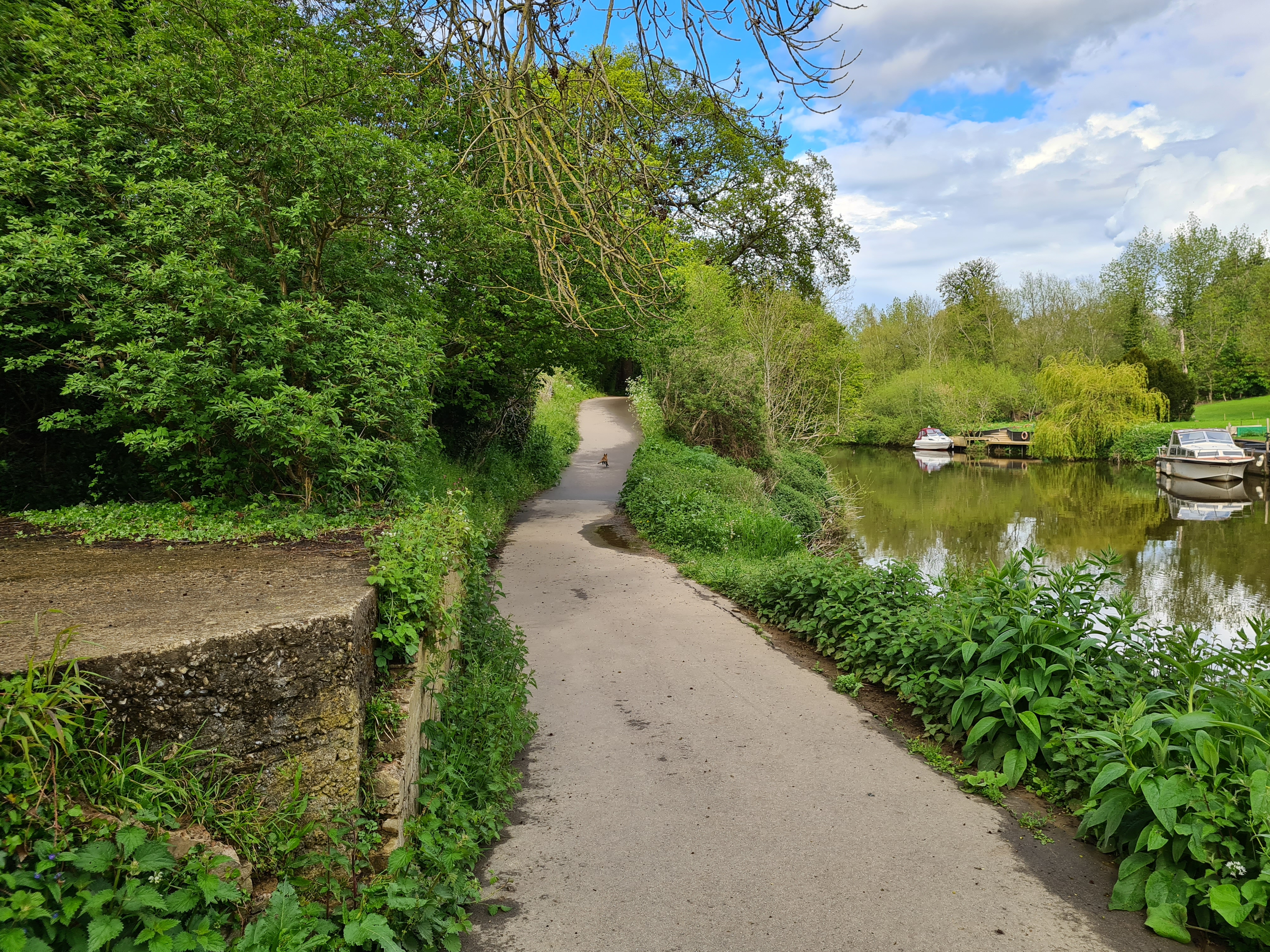 Approaching Maidstone, a fox leads the way
