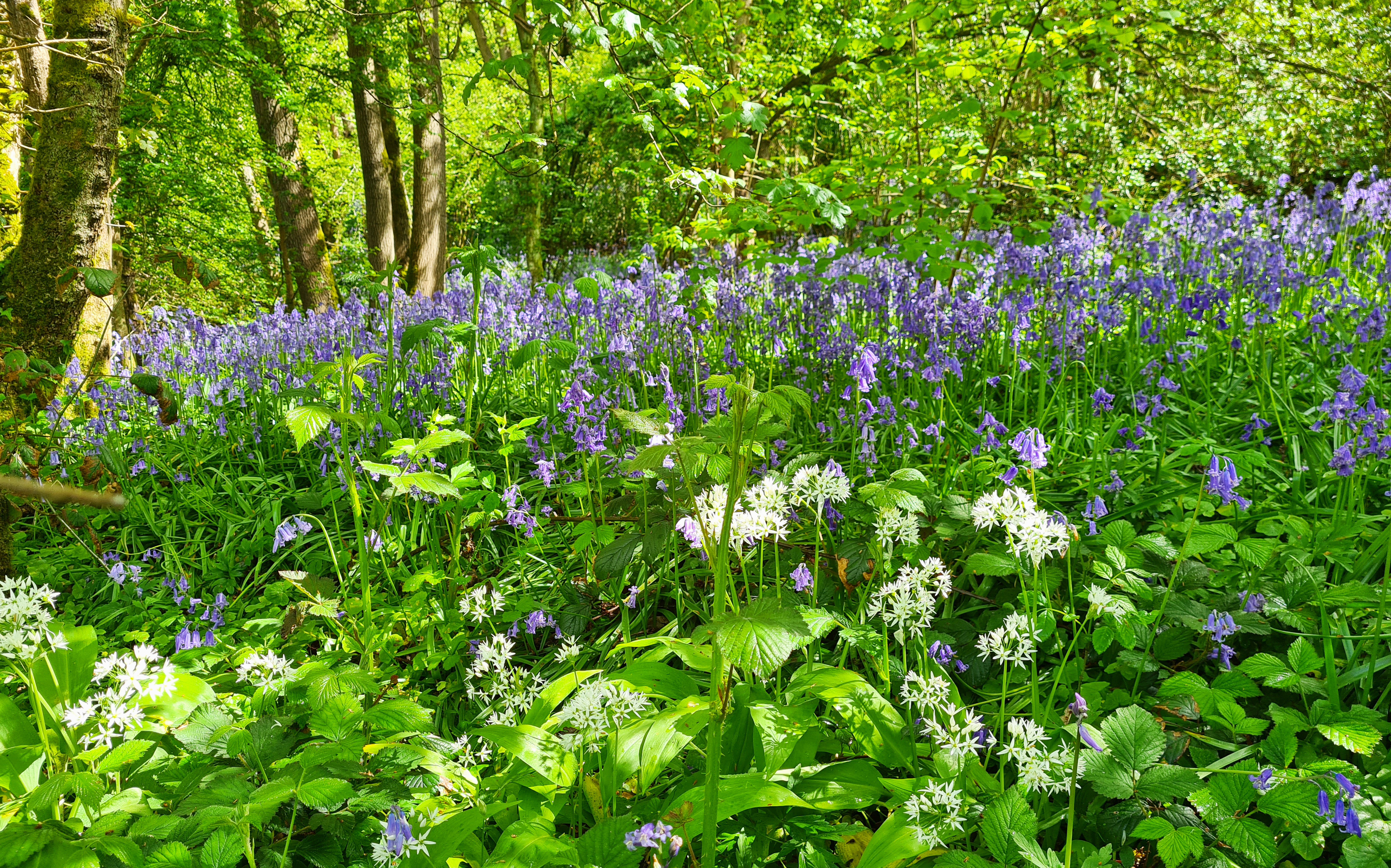 Bluebells and Ransoms