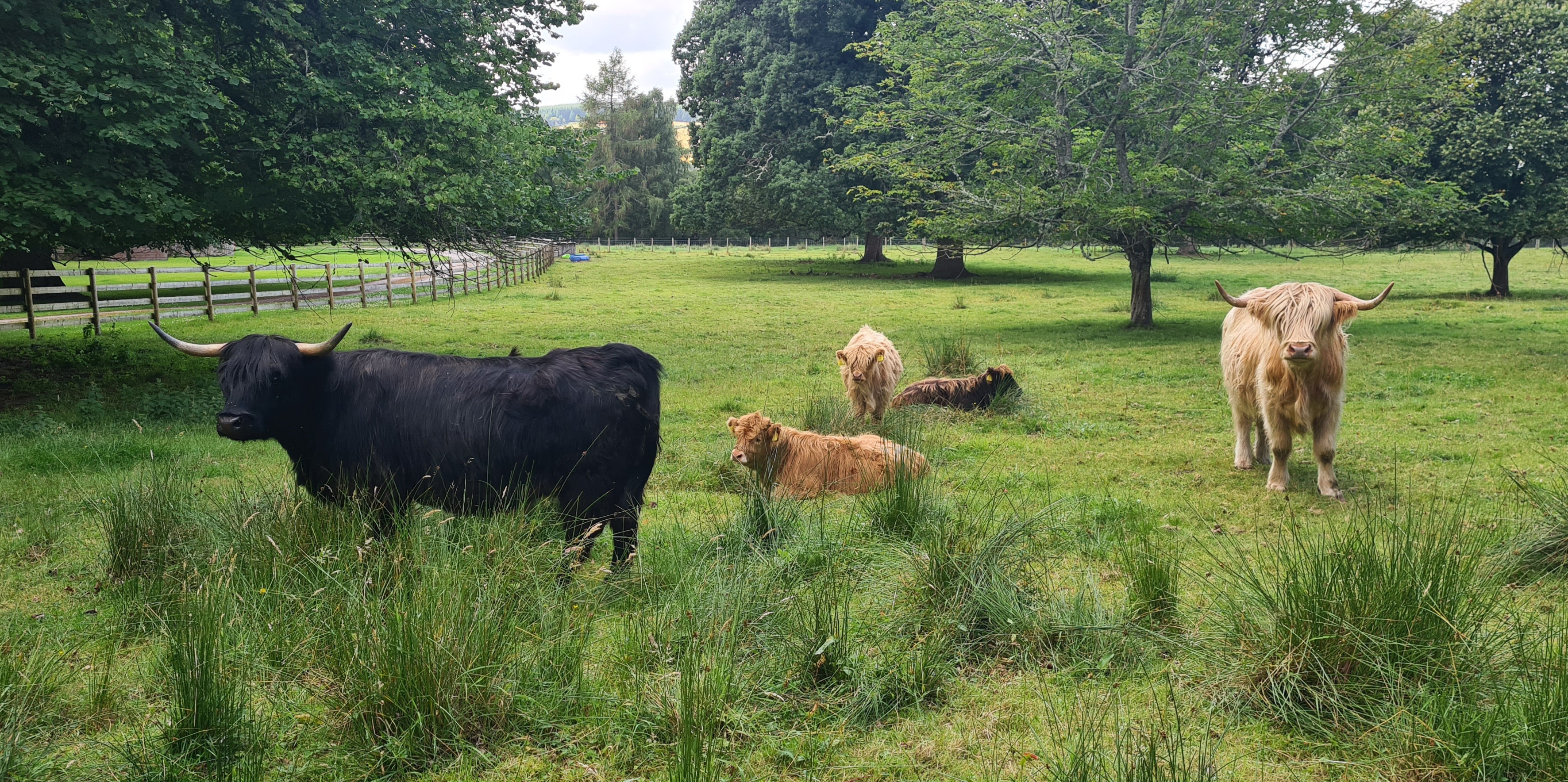 Highland Cattle at Arndilly House