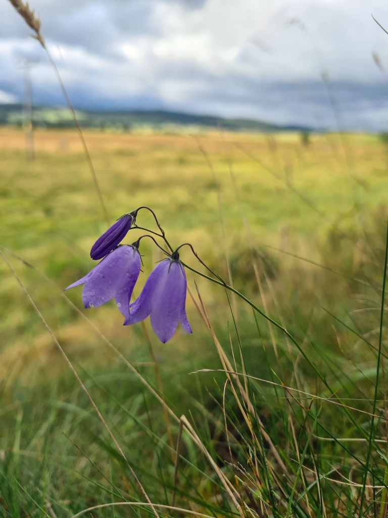Harebell, or Scottish Bluebell, is The flower of the Speyside Way in August