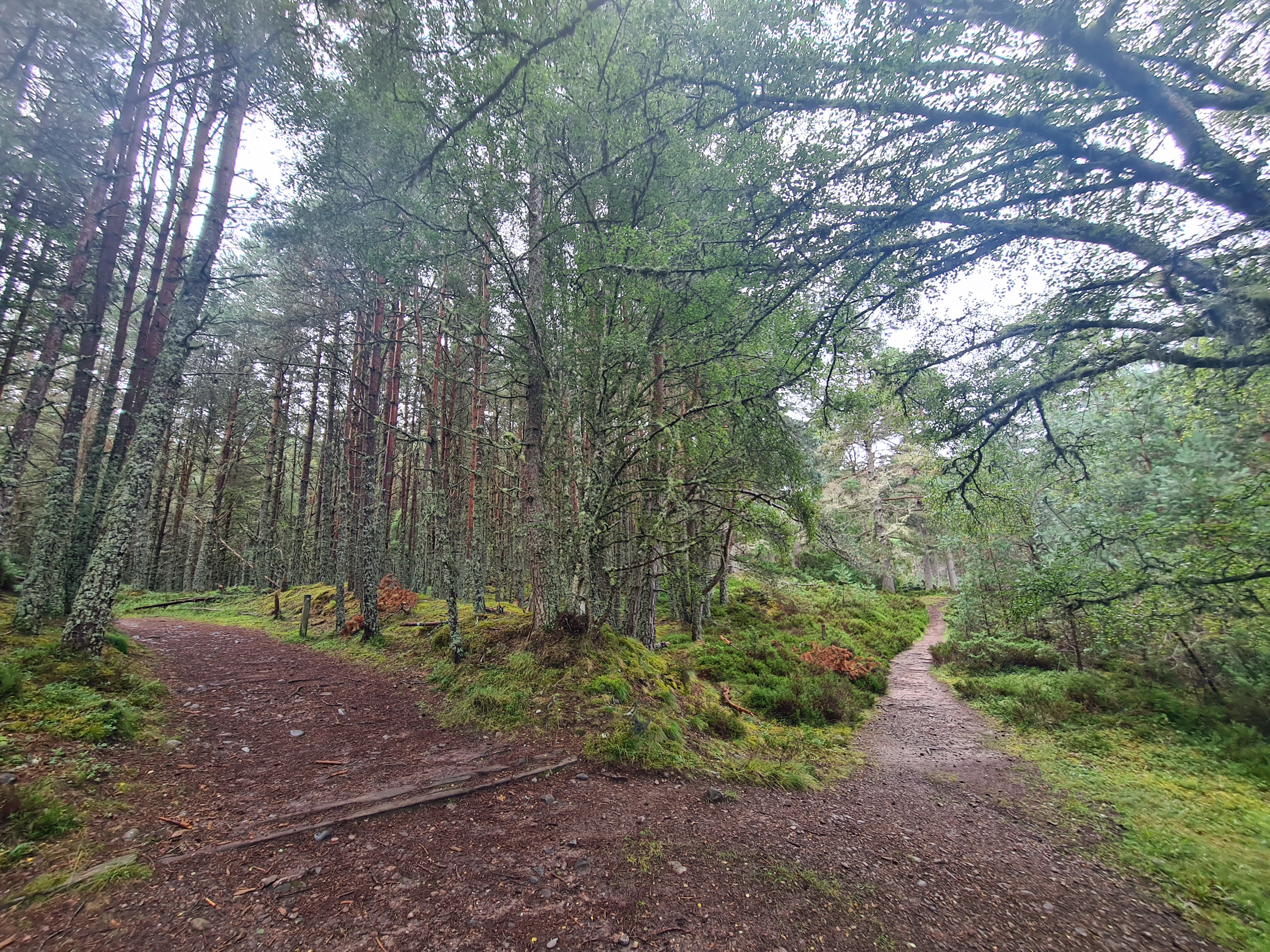Anagach Wood- Red Trail (on right) joins Speyside Way (on left)